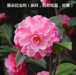 茶花-爱朵拉宝莉/刻骨铭心/崇拜/仰慕
