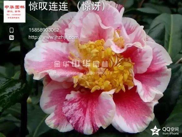 茶花品种-惊讶-惊叹连连-aiyaya