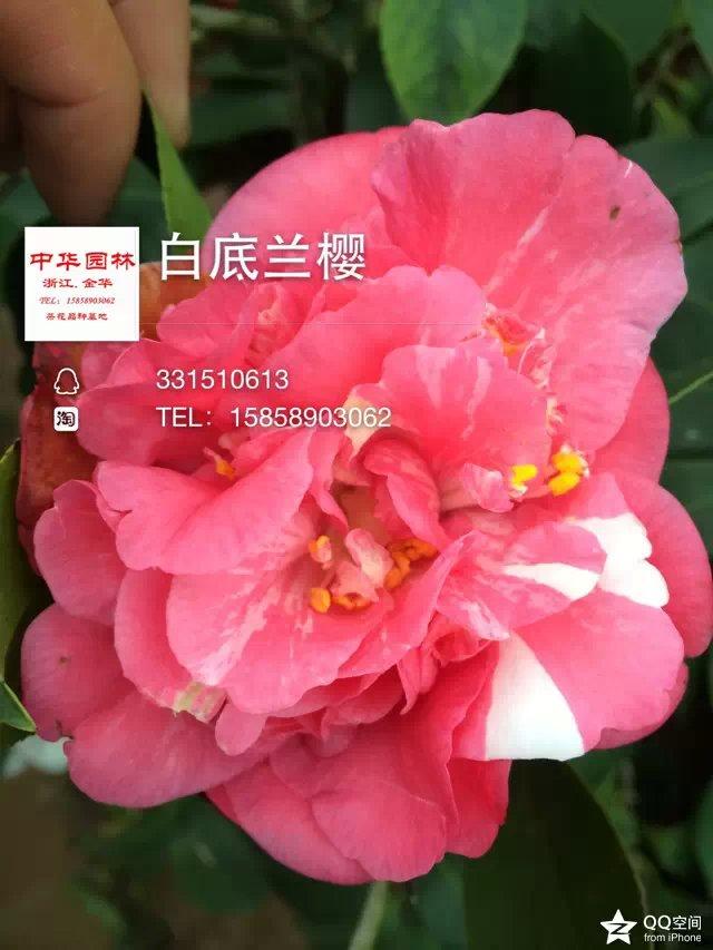 多色茶花-白底兰樱