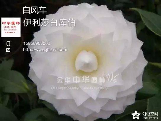 茶花品种-白风车-伊丽莎白库伯