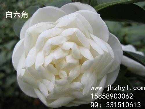 茶花-白六角