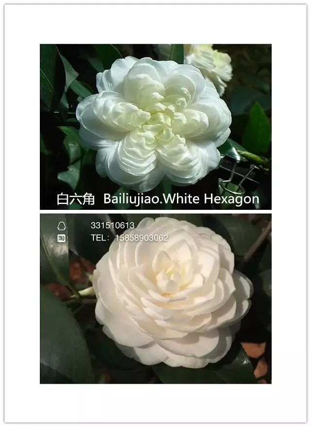 茶花品种-白六角-Bailiujiao.White Hexagon