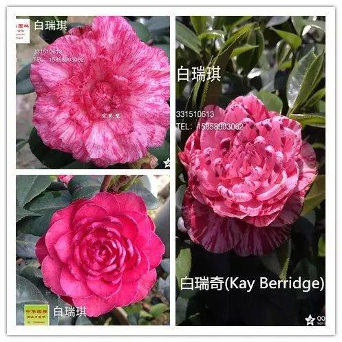 茶花品种-白瑞奇-Kay Berridge