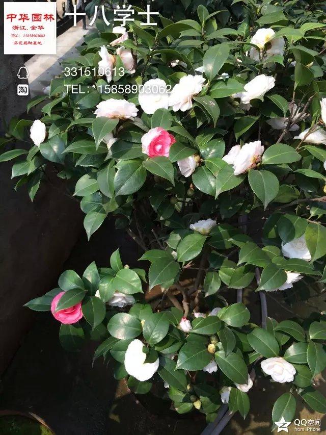 茶花品种-白十八学士 多色