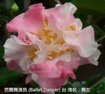 茶花品种-芭蕾舞演员-Ballet Dancer-舞女