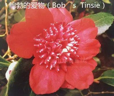 茶花品种-鲍勃的爱物-Bob's Tinsie