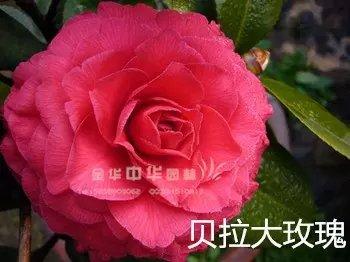 茶花品种-贝拉大玫瑰Bella Rosa