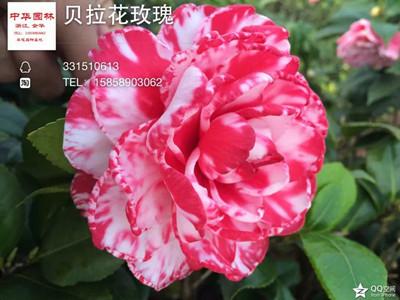 茶花-贝拉花玫瑰