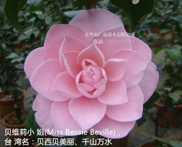 粉色茶花品种:贝维莉小 姐(Miss Bessie Beville),台 湾名:贝西贝美丽、千山万水