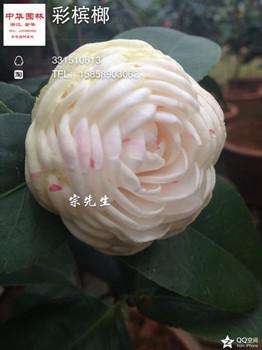 多色茶花-彩槟榔