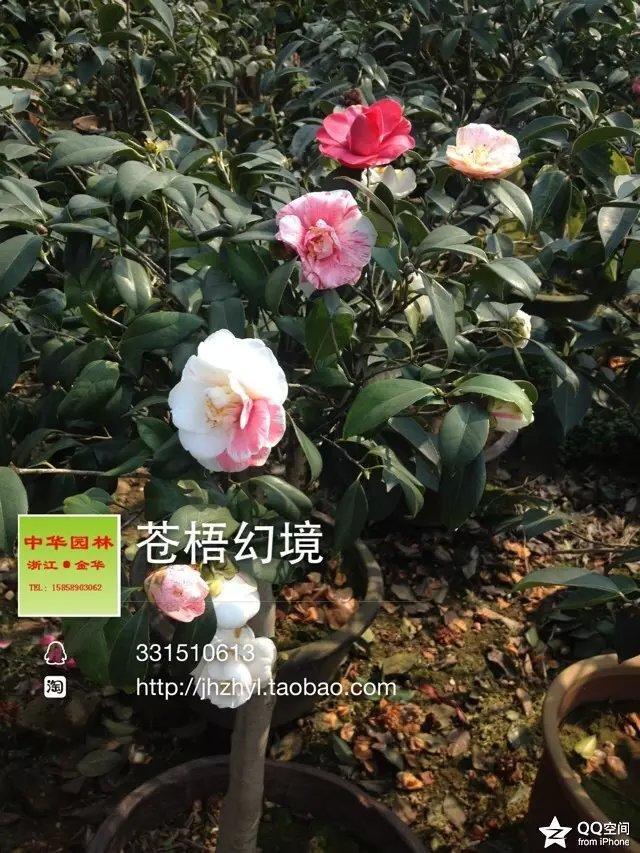 茶花品种-苍梧幻境