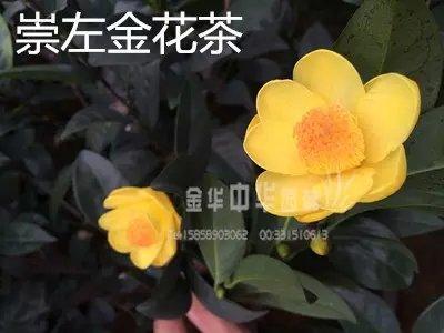 茶花品种-崇左金花茶