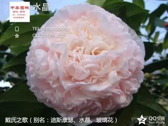 茶花品种-戴氏之歌-迪斯康瑟-水晶-玻璃花