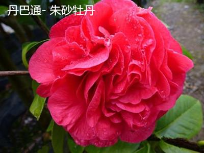 茶花-丹巴通-朱砂牡丹