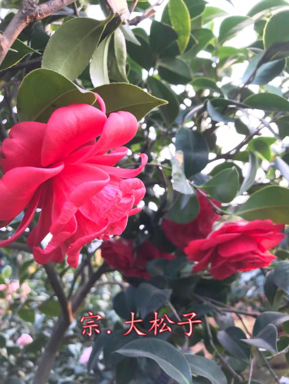 茶花-大松子