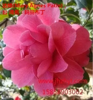 茶花品种-达婷-Mary Agnes Patin-玛丽布丁