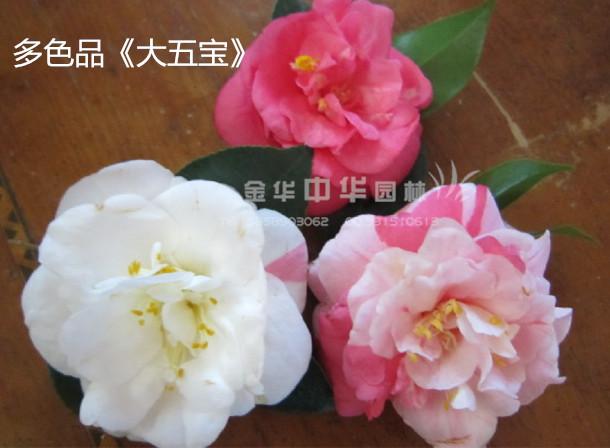 茶花品种—大五宝