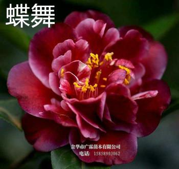 茶花新品种:蝶舞