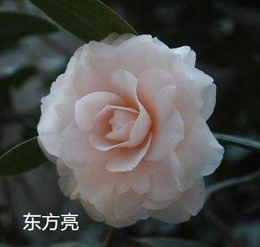 茶花品种:东方亮