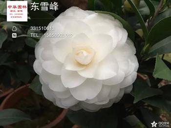 白色茶花:冬雪峰