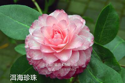 茶花-洱海珍珠