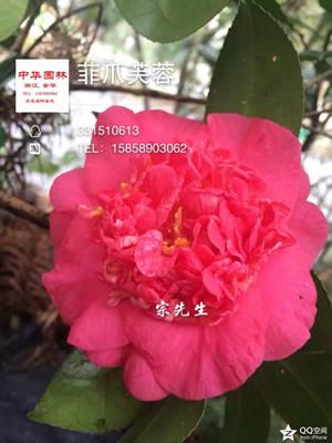 茶花-绯爪芙蓉