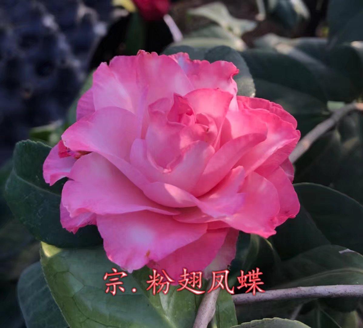 茶花粉翅凤蝶