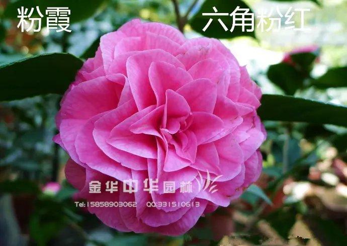 茶花品种-粉霞 -六角粉红