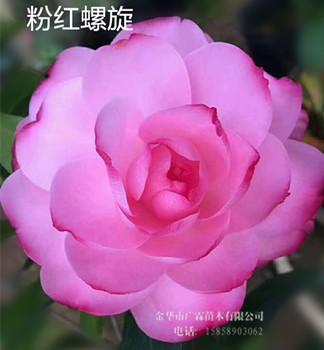 新品种茶花 —— 粉红螺旋