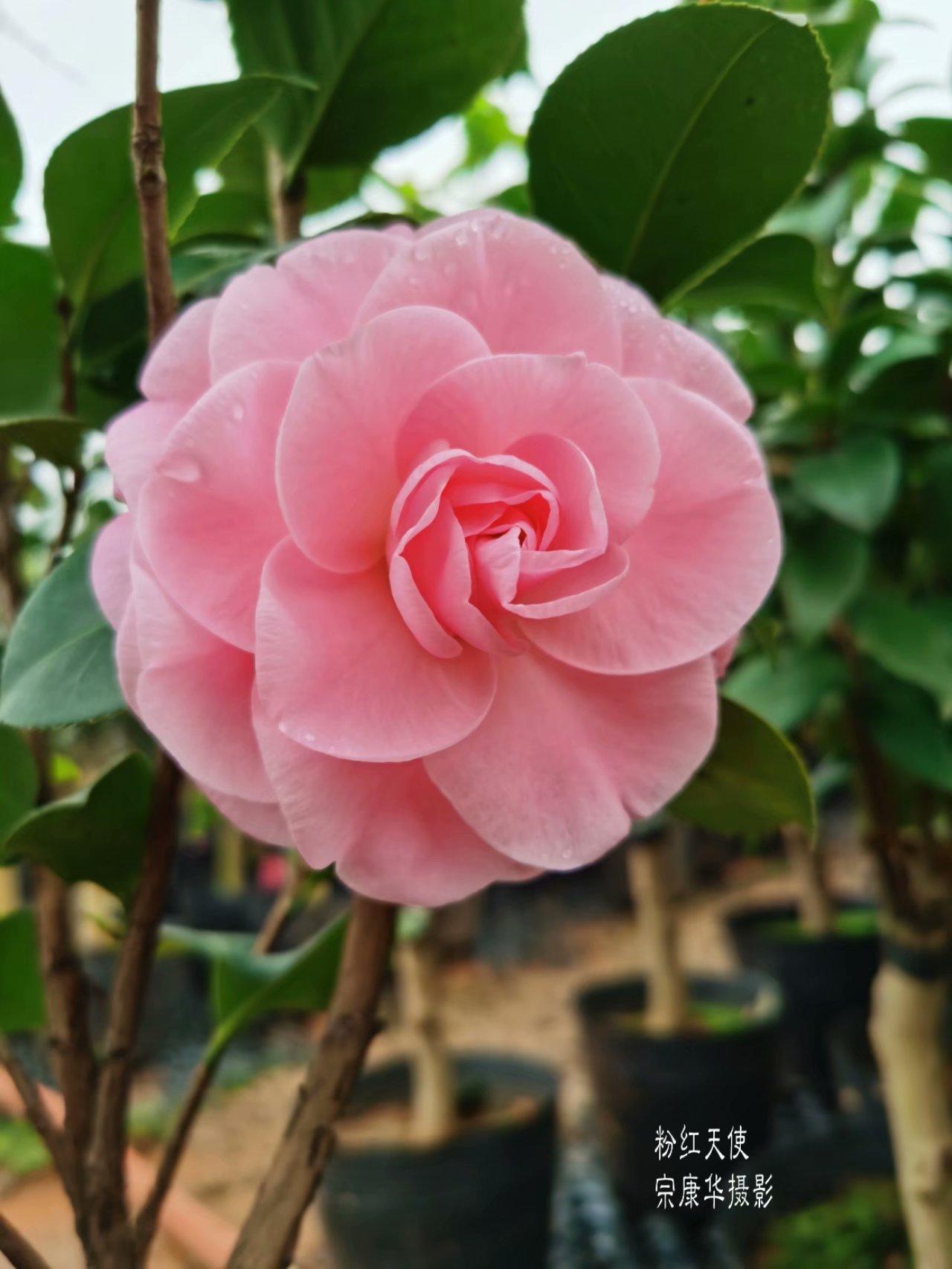 新茶花-粉红天使