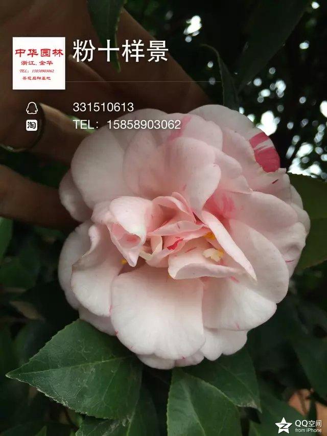 茶花品种-粉十样景