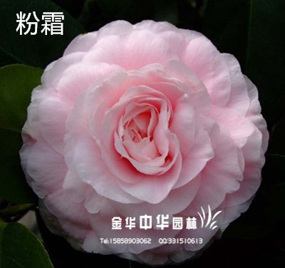 茶花品种:粉霜/冰霜美人