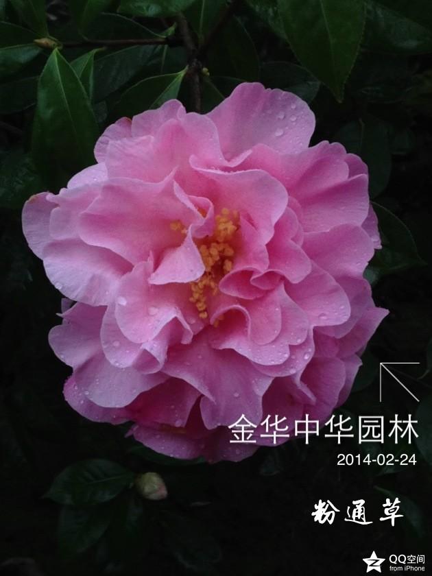 茶花-粉通草