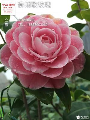 茶花-佛朗哥玫瑰