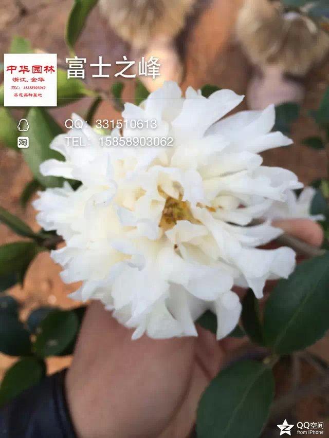 白花茶梅-富士之峰-秋芍药