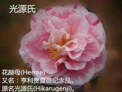 茶花品种-光源氏-Hikarugenji-花赫母-Herme-亨利贵查德纪念品