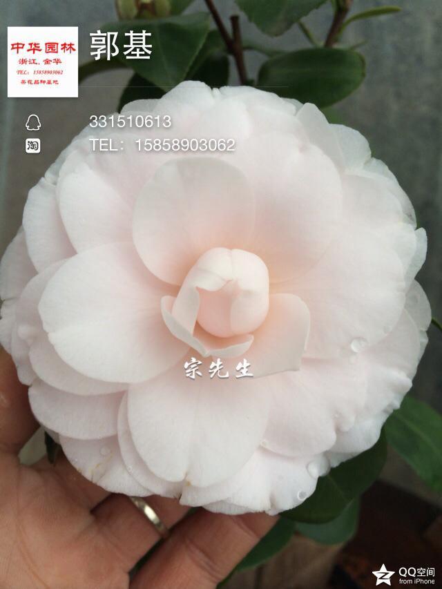 茶花品种-郭基