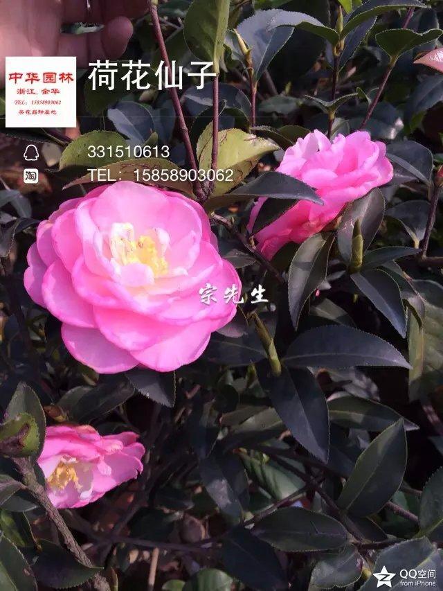 茶花品种-荷花仙子