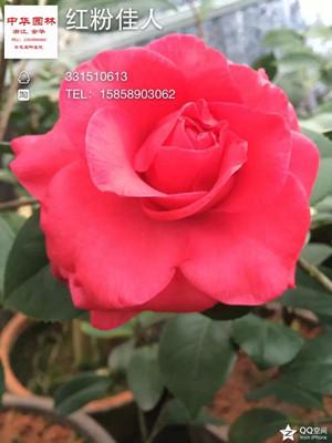茶花-红粉佳人/粉玫瑰