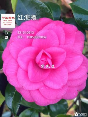 茶花-红海螺