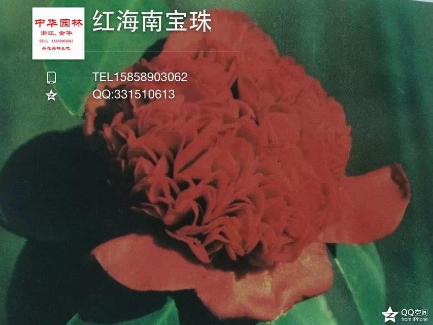 茶花品种-红海内宝珠 -上海鹤顶红