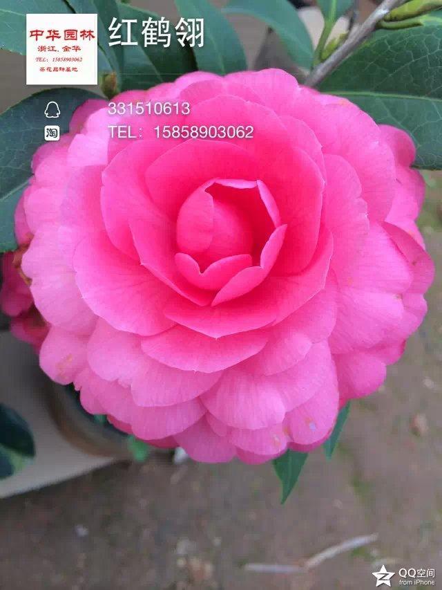 茶花品种-红鹤翎
