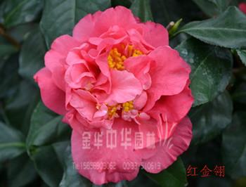 茶花品种—红金翎
