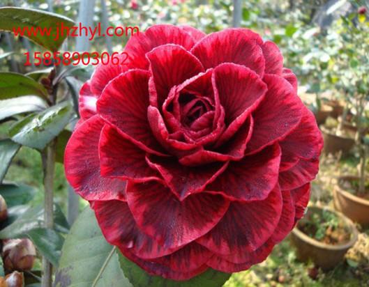 茶花-红叶贝拉