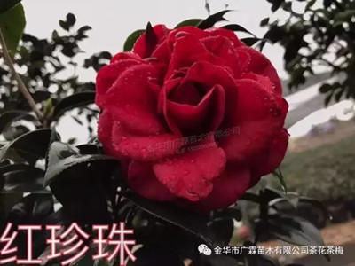 茶花-红珍珠