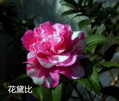 茶花-花黛比