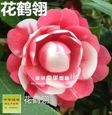 茶花品种-花鹤翎 红山茶