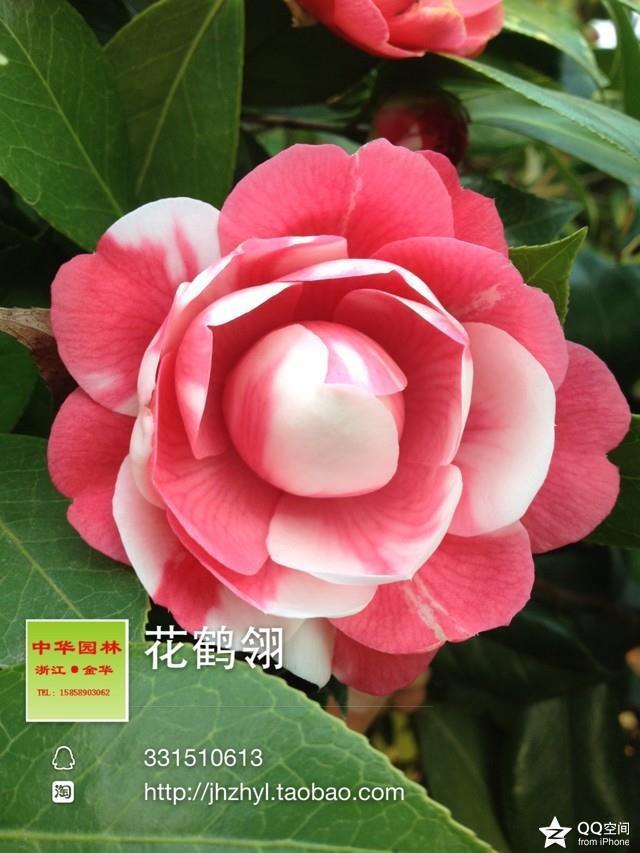 茶花品种-花鹤翎