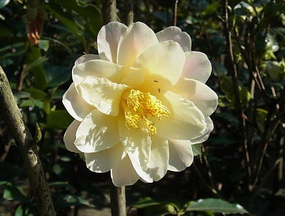 茶花品种:黄莲华
