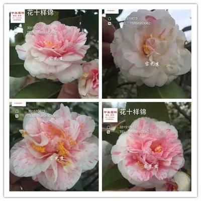 茶花品种-花十样景-一树多色品种